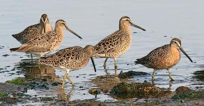 Short-billed Dowitchers, prealternate adults