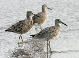 Willets, prealternate adults