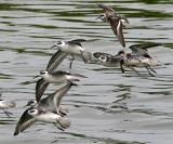 Red-necked Phalaropes, 1st prebasic and adults