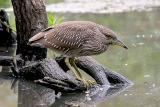 Black-crowned Night-Heron, 1st cycle