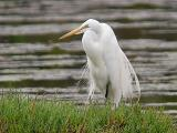 Great Egret, alternate adult
