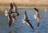 Black Skimmers, 1st cycle with alternate and prebasic adults