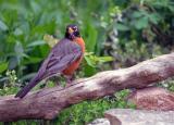 American Robin 2