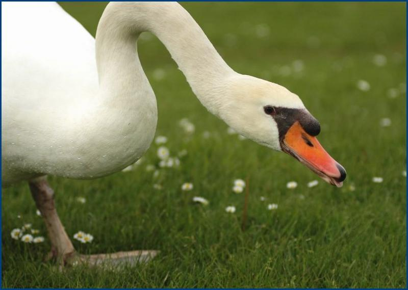 cheeky swan