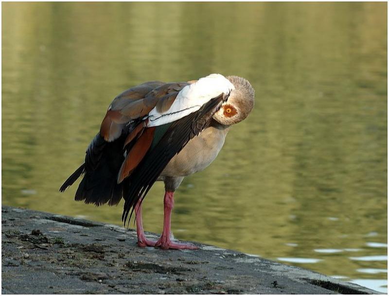 watching you (Egyptian Goose, Alopochen aegyptiacus)