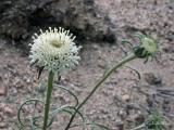 Chaenactis stevoides