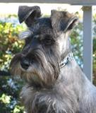 He looks like a Schnauzer now!