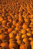 IMG00232 pumpkins best.jpg