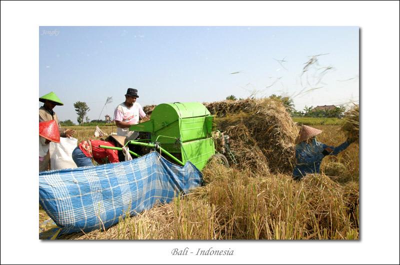 Harvest at Tabanan