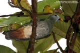 Black-chinned Fruit-dove (adult, a near Philippine endemic)  Scientific name - Ptilinopus leclancheri leclancheri  Habitat - Uncommon in forest patches up to 1500 m.