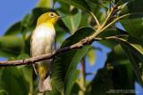Lowland White-eye (a near Philippine endemic)  Scientific name - Zosterops meyeni  Habitat - Second growth, scrub and gardens.  [350D + Sigmonster (Sigma 300-800 DG), on tripod]
