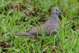 Zebra Dove   Scientific name - Geopelia striata   Habitat - Open country, cultivated areas and gardens.   [300D + 100-400 L IS, hand held]