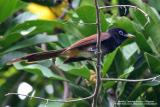Japanese Paradise-Flycatcher  Scientific name - Terpsiphone atrocaudata  Habitat - rare in Luzon, understory of forest and forest edge.  [20D + Sigmonster (Sigma 300-800 DG)]