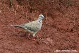 Spotted Dove   Scientific name - Streptopelia chinensis   Habitat - Common in open country and agricultural areas.  [350D + 400 5.6L, hand held]