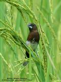White-bellied Munia   Scientific name - Lonchura leucogastra   Habitat - Common, ranging from forest to ricefields.   [350D + Sigmonster (Sigma 300-800 DG)]