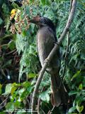 Luzon Hornbill  (a Philippine endemic, Female)   Scientific name - Penelopides manillae   Habitat - Forest and edge up to 1500 m.   [350D + Sigmonster (Sigma 300-800 DG)]