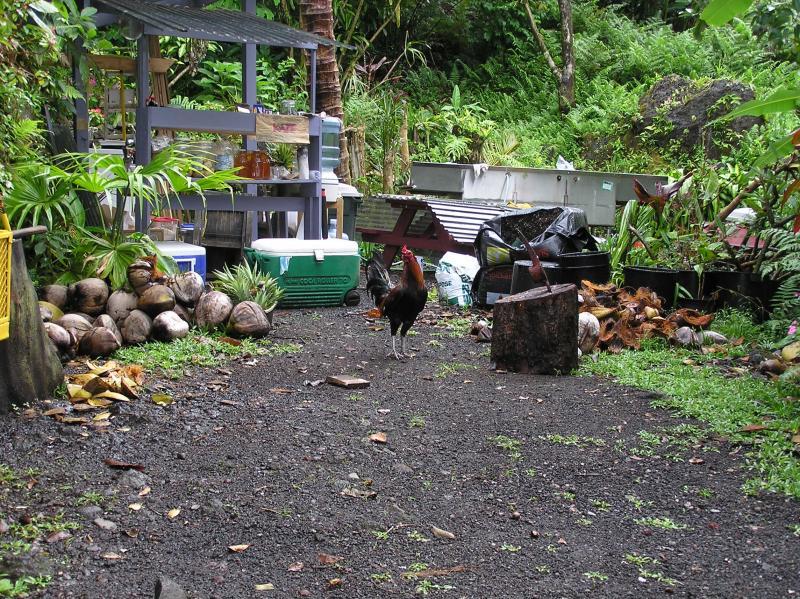 Nahiku fruit stand rooster