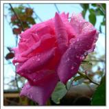 Bourbon Rose 'Zephirine Drouhin'