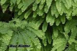 Maidenhair Ferns Along Little River.jpg
