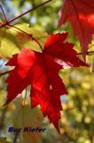 Maple Leaf.jpg
