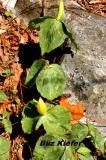 Yellow Trillium and Limestone.jpg