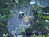 Spider Web - Apple Tree.jpg