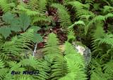 Ferns and Rock.jpg
