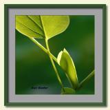 Tulip Poplar Bud-framed.jpg