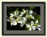 Spring Dogwoods-framed.jpg
