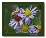 Colorful Insect on Asters