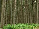 Forêt de sapins. La Hulpe.
