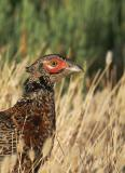 Ring-necked Pheasant, young male