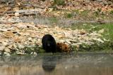 Bears at Floating Island Lake