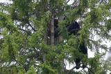 Mom and cub in tree
