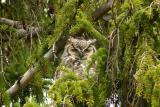Mom owl