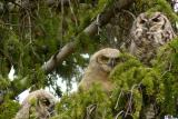 Mom and 2 owlets