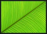 Backlit Banana Leaf