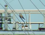 Western Kingbird - AR - 6-18-05 male nest 1