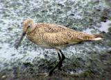 Willet - webbed foot - 7-16-05