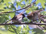 sparrow feeding its young