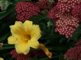 daylily and verbena