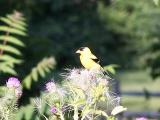 goldfinch on thistle 2