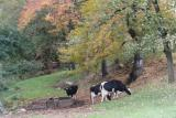 holstein cows in fall colors