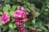 black swallowtail on rose of sharon