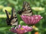 pair of eastern tiger swallowtails