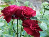 old fahioned roses