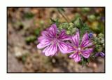 Lesbos - flora - DSCN5162.jpg