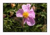 Lesbos - vlinder - DSCN5259.jpg
