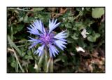 Lesbos - flora - DSCN5494.jpg