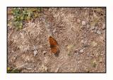 Lesbos - vlinder - DSCN5490.jpg